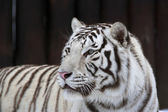 White bengal tiger on dark background. — Stock Photo