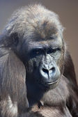 A young gorilla female with low state in the monkey family on blur background. — Stock Photo
