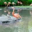 Colorful flamingos bathing — Stock Photo