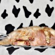 Lying cat — Stock Photo