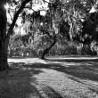 Live Oaks draped in Spanish Moss — Stock Photo