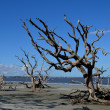 Awesome Driftwood Beach on Jekyll Island — Stock Photo #12881104
