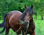 Morgan Horse — Stock Photo