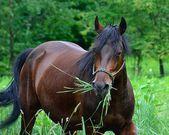 Morgan Horse — Stock Photo