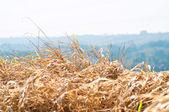 丘を背景にゴールデン ブッシュ — ストック写真