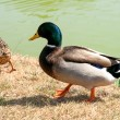Two ducks close — Stock Photo #13210069