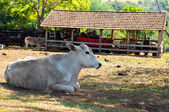Bull resting in the shade — Stock Photo