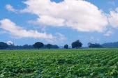 Piantagione di fagioli verdi — Foto Stock