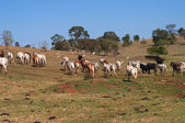 Herd of cows and bulls leaving — Stock Photo