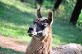 Close of lhama (lama glama) — Stockfoto