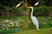 Great white heron — Stock Photo
