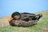 Duck in front of a lake — Stock Photo
