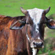 Stock Photo: Pretty ox portrait