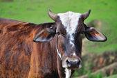 Pretty ox portrait — Stock Photo