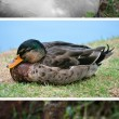 Stock Photo: Collection duck