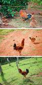 Collection cock — ストック写真