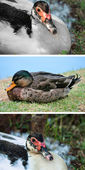 Collection duck — Stock Photo