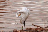 White heron on polluted river — Stock Photo
