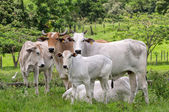 Cows on farm — Foto Stock
