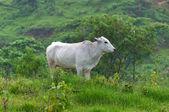 Pretty ox portrait on farm — Stockfoto