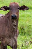 Retrato lindo buey en granja mirando a cámara — Foto de Stock