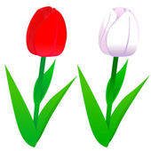Tulips red and white — Stock Vector