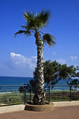 Netanya. Palm tree at the sea embankment — Stock Photo