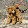 Постер, плакат: Walking red poodle puppy