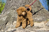 Walking red poodle puppy — Stock Photo