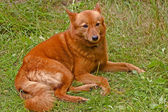 Finnish spitz — Stock Photo