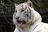 White bengal tigress — Stock Photo
