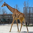 Portrait of giraffe - Stock Photo