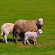 Sheep and  lamb — Foto Stock