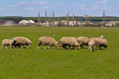 Flock of sheeps — Stock Photo