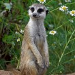 looking meercat — Stock Photo