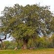 Stock Photo: Banytree