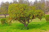 дерево мандарин — Стоковое фото