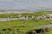 Ibises and seagulls — Stockfoto