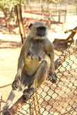 Langur on a fence — Stock fotografie