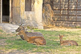 Family of Sila deers — Stock Photo