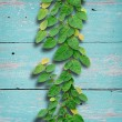 Ivy fixing climbing tree on grunge wood background on green colo — Stock Photo
