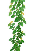 Climbing fix tree or ivy isolated on white, with clipping path. — Stock Photo