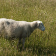 One sheep - Stock Photo