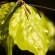 Light green leafes of beech closeup — Stock Photo #12264031