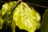Light green leafes of beech closeup — Stockfoto