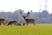 Big male fallow deer — Stock Photo