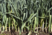 Leeks in the garden — Stock Photo