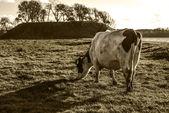 One last cow — Stock Photo
