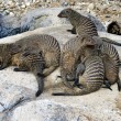mongoose family — Stock Photo