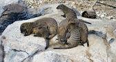 Mongoose family — Stock Photo
